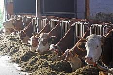 Eine Haltung von Kühen mit Hörnern im Laufstall ist möglich