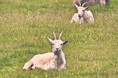 Tierzuchtverbände fordern Nachbesserungen bei Eco-Schemes