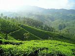 Darjeeling Tee wird Bio