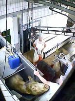 Tierwohl ade - Weiterer Schlachthofskandal aufgedeckt