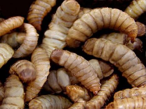 Insekteneiweiß als nachhaltige Futterquelle