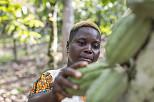 Niedriger Kakaopreis bedroht ivorische Produzenten