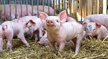 Absatz bei Naturland Schweinefleisch wächst nachhaltig