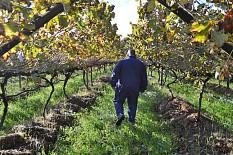 Unerwartet großes Interesse am Anbau von ökologischen Trauben in Südafrika